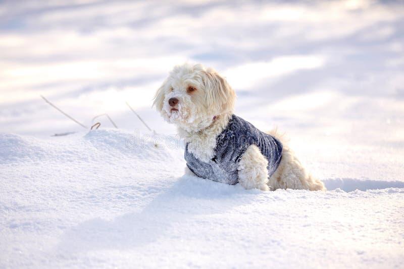 Havanesehond die en in sneeuw wachten letten op royalty-vrije stock foto