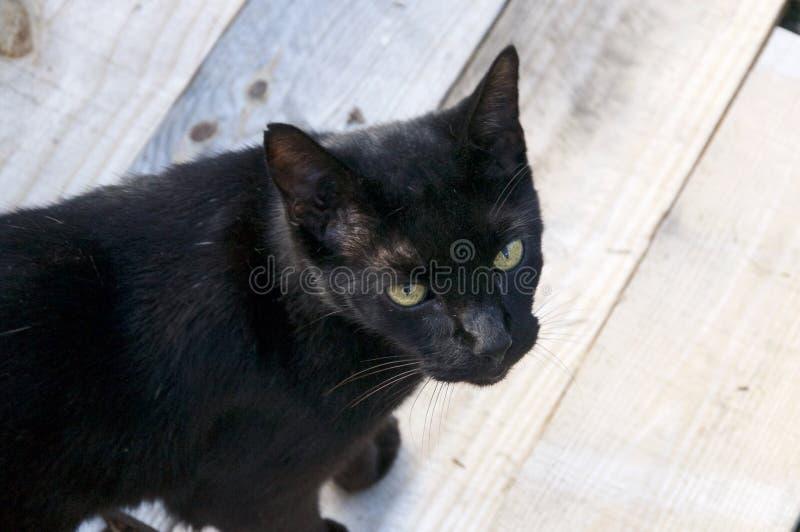 Havanna-braune Katze draußen auf Holz stockfotografie