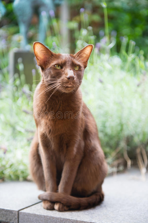 Download Havanna brown siamese stock image. Image of eyes, sitting - 33160843
