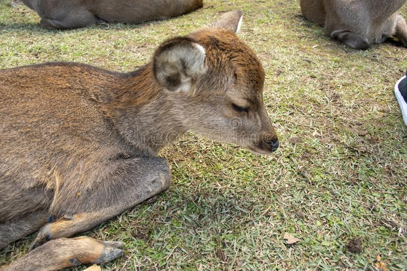 Have fun with deer in Japan and it was sleeping stock photography