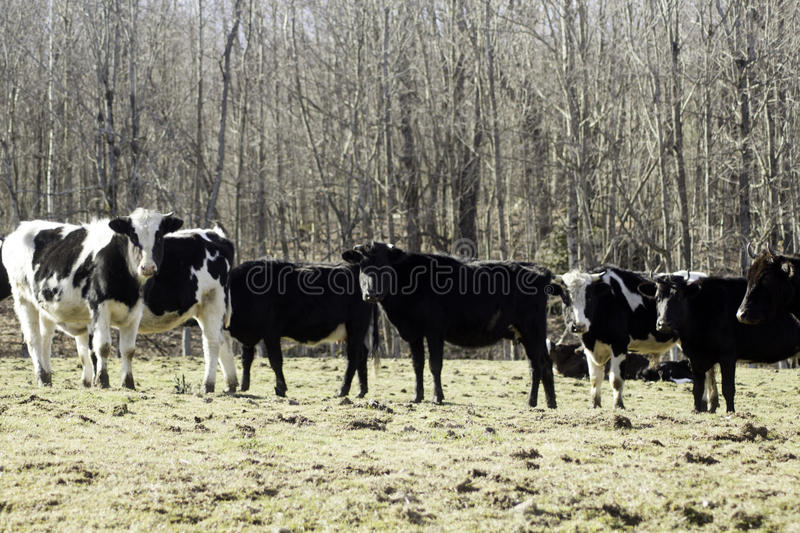 Download Have You Herd stock image. Image of cattle, bull, pasture - 90554655