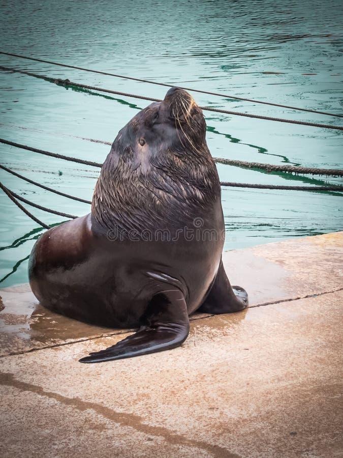 Haven en zeeleeuwen, stad overzeese van van Mar del Plata, Argentinië wolf stock fotografie