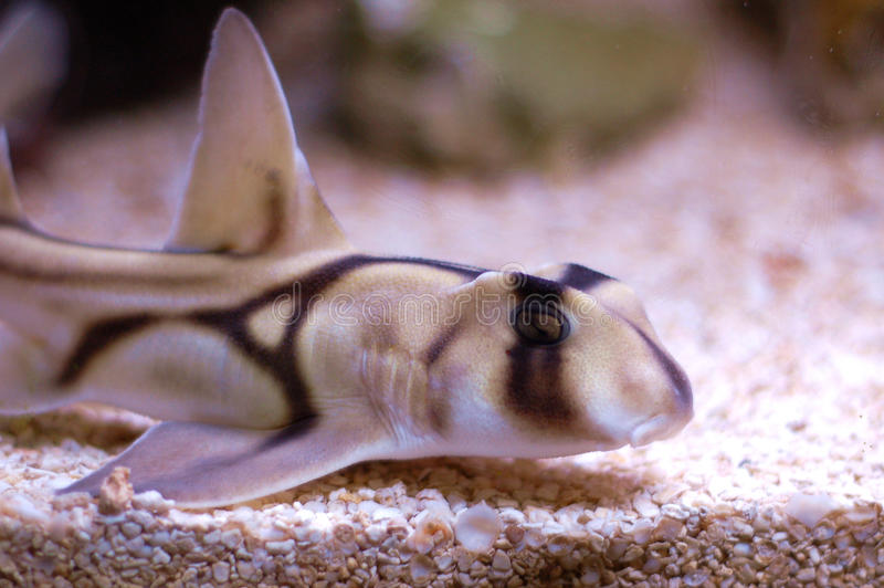 Haven Jackson Shark stock foto