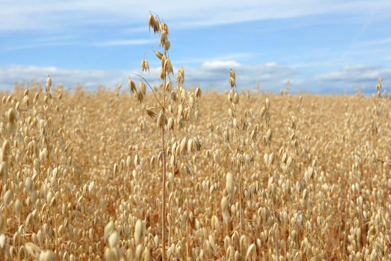 Haverkorrel klaar voor oogst op landbouwgebied op de zomerdag met blauwe hemel stock afbeelding