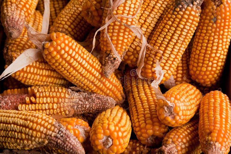 Havest bienfaisant des épis de maïs secs jaunes d'or photos stock