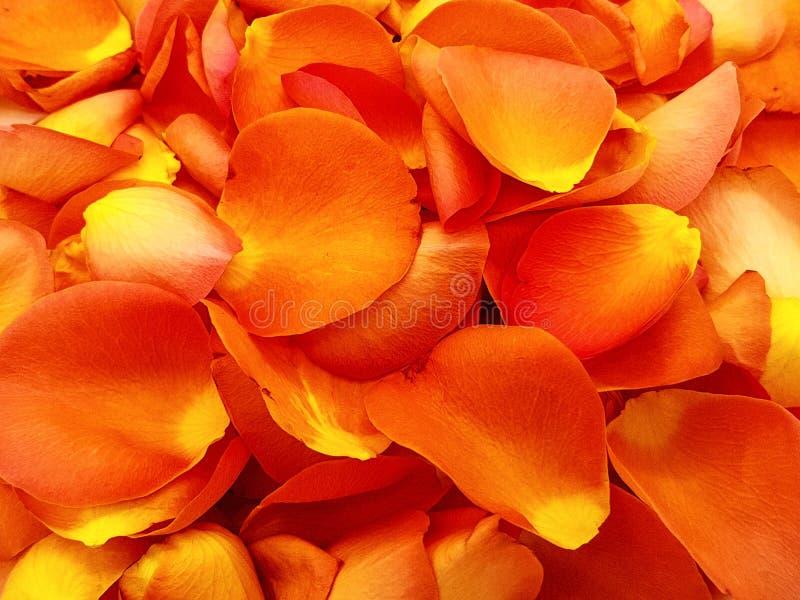 Havet av lax-färgat steg blomningar arkivfoton
