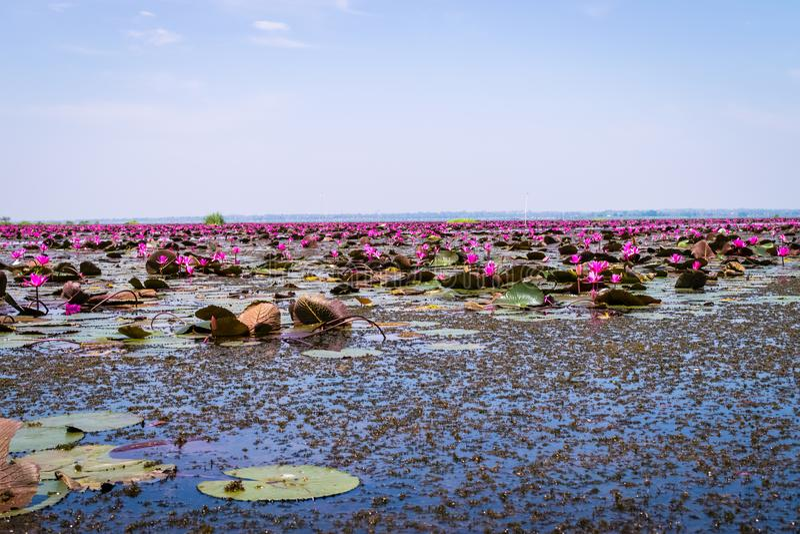 Havet av röd lotusblomma royaltyfri bild