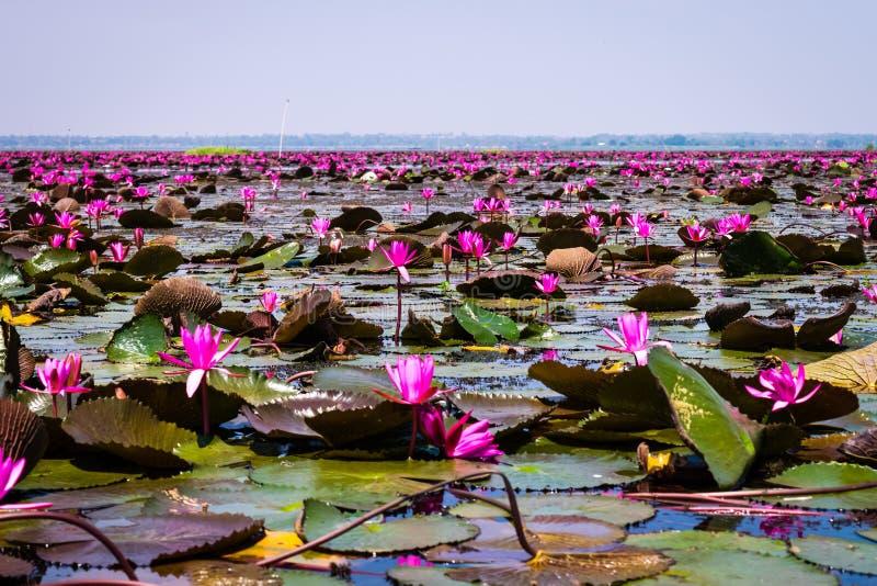 Havet av röd lotusblomma fotografering för bildbyråer