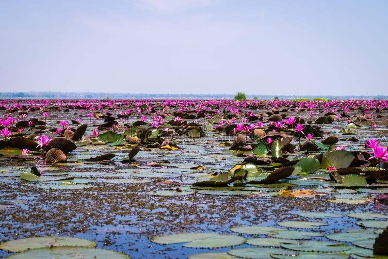 Havet av röd lotusblomma royaltyfria foton