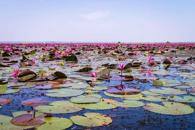 Havet av röd lotusblomma royaltyfri fotografi