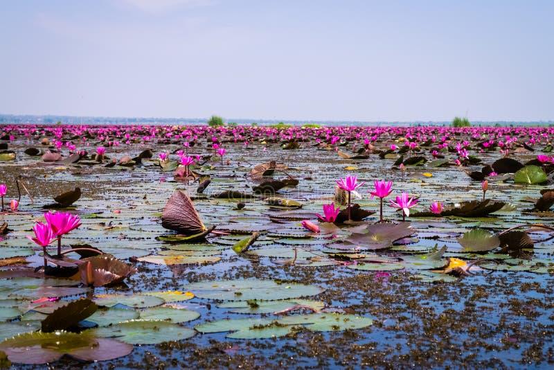 Havet av röd lotusblomma royaltyfria bilder
