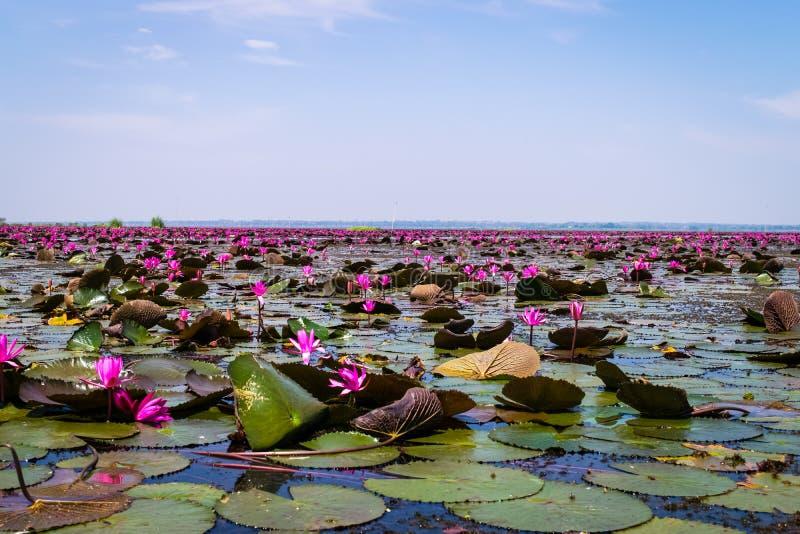 Havet av röd lotusblomma arkivbilder