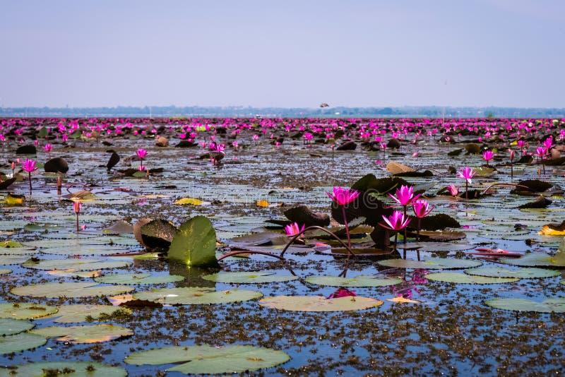 Havet av röd lotusblomma royaltyfri foto
