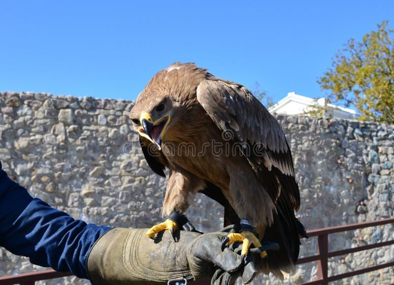 Havik op de hand van de vogeltrainer royalty-vrije stock fotografie