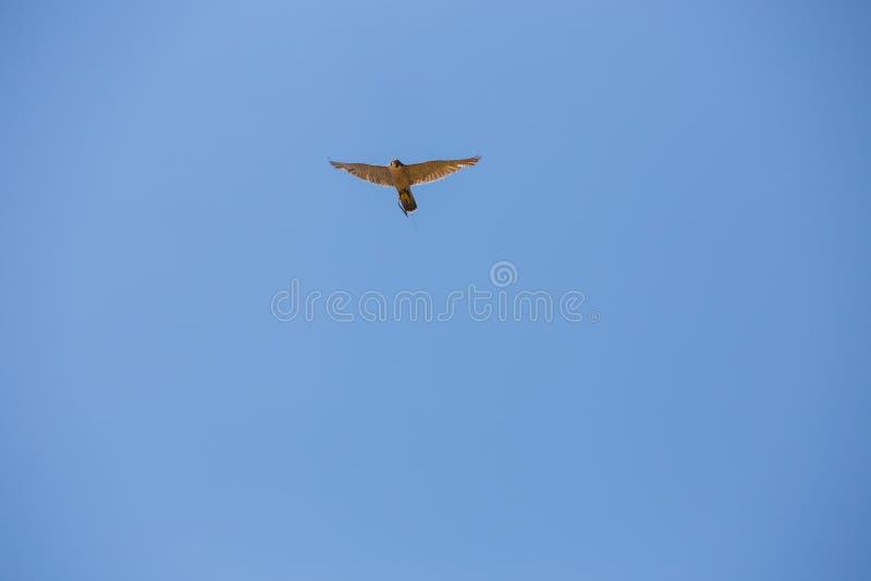 Havik tijdens de vlucht, Peregrine valk, Haviksperegrinus stock fotografie