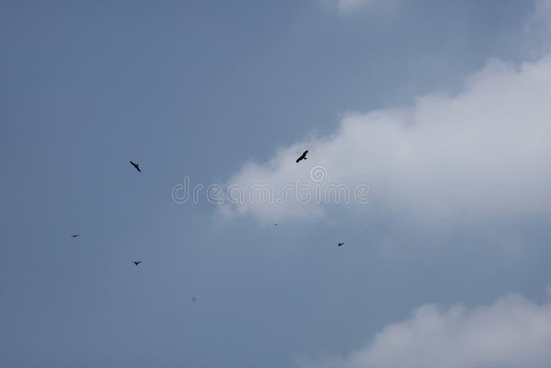 Haviken die in de blauwe hemel vliegen royalty-vrije stock foto's