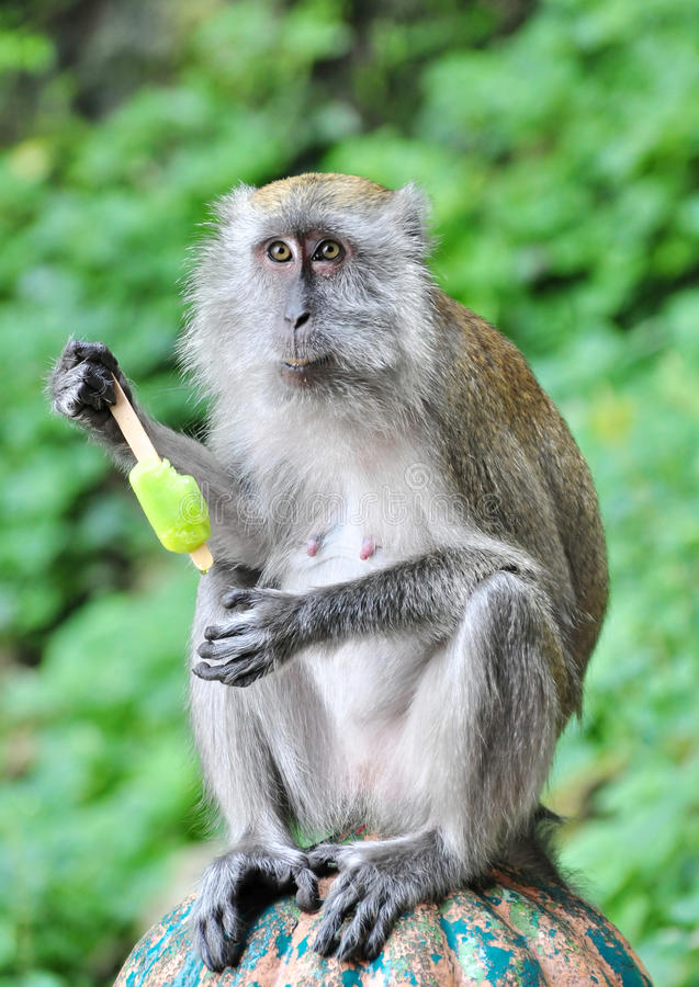Having A Cold Dessert. A monkey having an ice cream on a hot sunny day stock image
