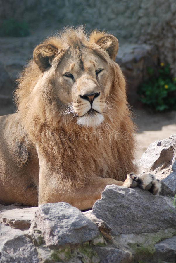 Download Having a rest lion stock photo. Image of male, king, feline - 10935794