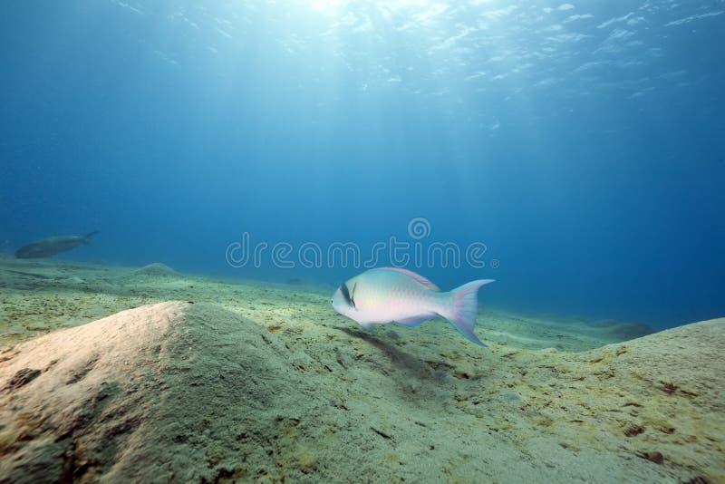 havparrotfish arkivbilder