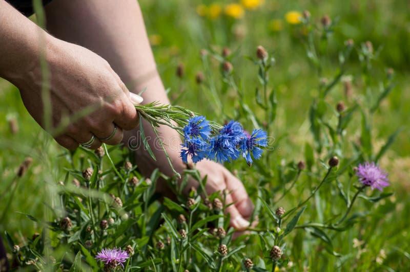 Havre blommar buketten i hand av kvinnan i en äng arkivbilder