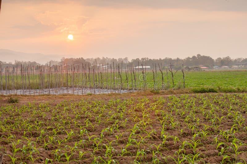 havre- och potatisjordbruksmark som är nordlig av Thailand royaltyfri fotografi