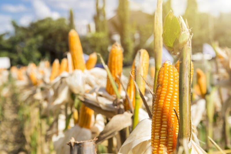 Havrefält med varmt ljus för tappning, åkerbruk bransch som skördar säsong royaltyfri foto