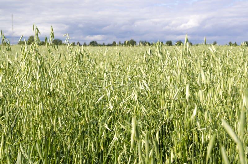 Havrefält, planterade sädesslag och att skörda och att skörda matning för hästar, arkivfoto