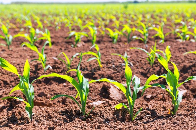 Havrefält spirar i rader i Kalifornien jordbruk fotografering för bildbyråer