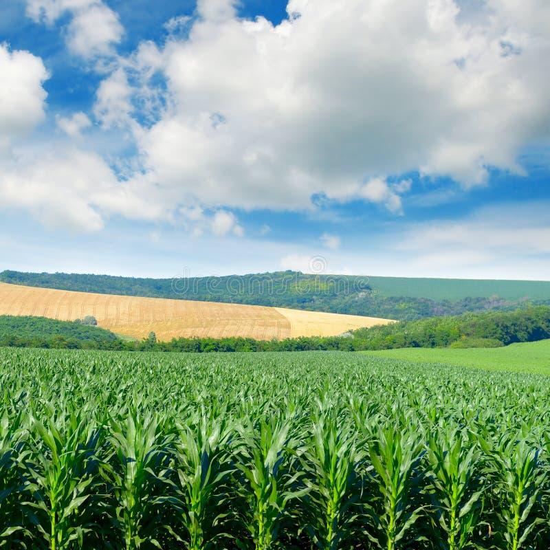 Havrefältet i pittoreska kullar och vit fördunklar i den blåa himlen arkivfoto