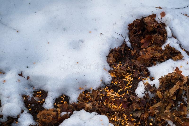 Havrekorn som kastas på de torra sidorna av skogen med snö fotografering för bildbyråer