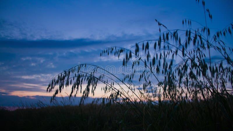 Havren gå i ax i sommarfältet i skymningen arkivbild
