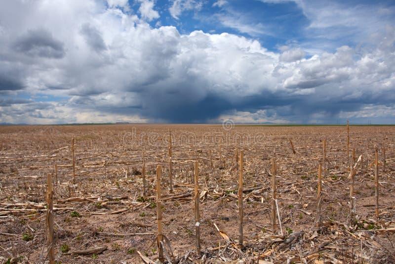 Havren sätter in i torka med inkomma regnar fotografering för bildbyråer