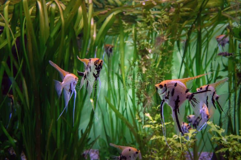 HavsängelScalar i akvariet på en bakgrund av alger Härlig färgrik tropisk fisk Skalaria royaltyfria bilder