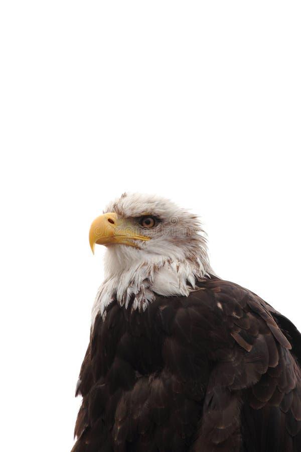 Download Havsörn arkivfoto. Bild av örn, huvud, jordluckrare, öga - 27287392