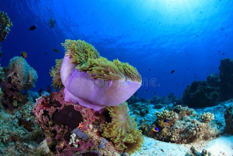 Havsanemon i den tropiska korallreven royaltyfri fotografi