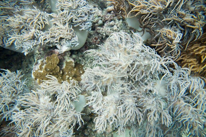 Havsanemon i Stilla havet royaltyfria foton