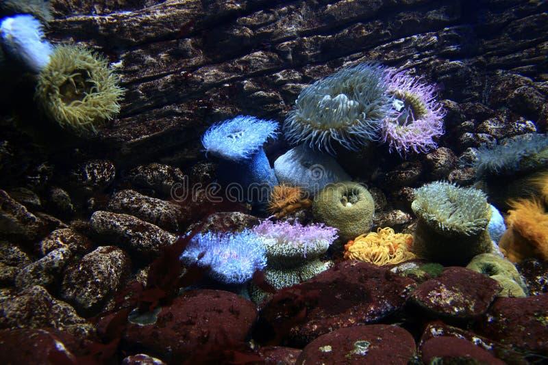 Havsanenomes royaltyfri bild