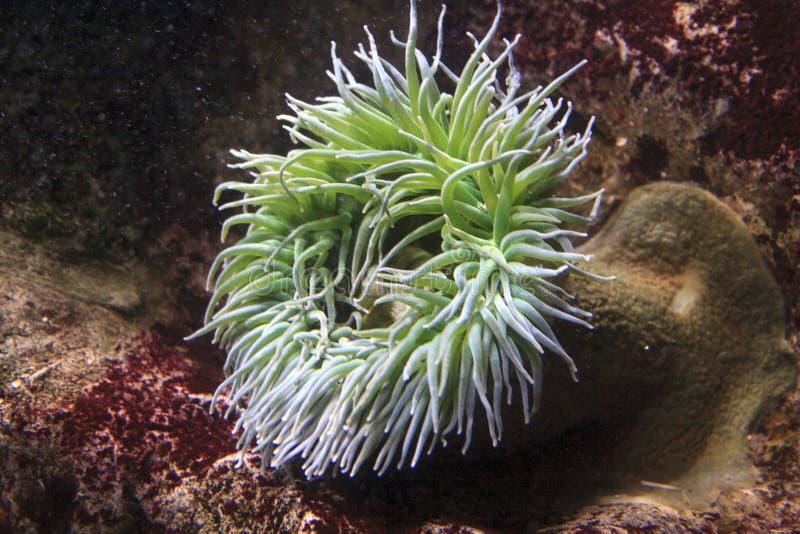 Havsanenomes arkivfoton