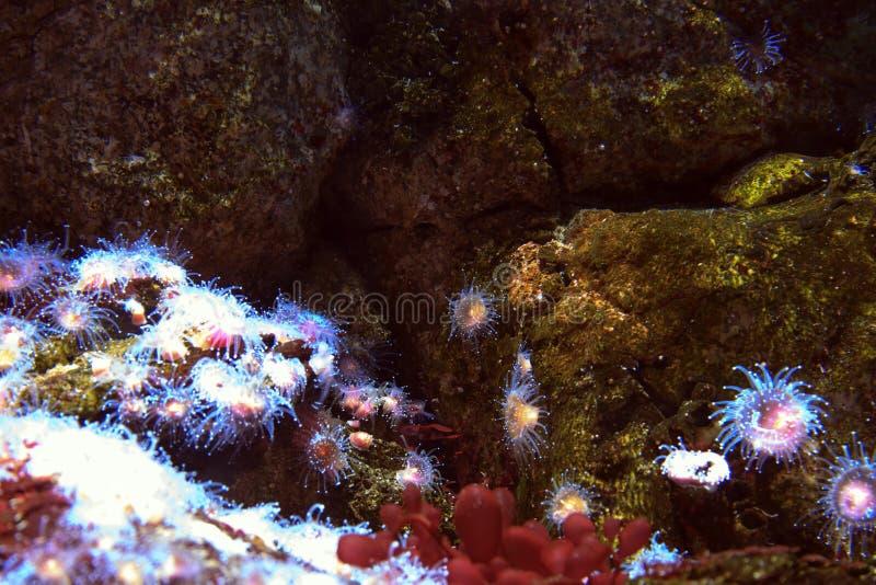 Havsanenomes royaltyfria bilder