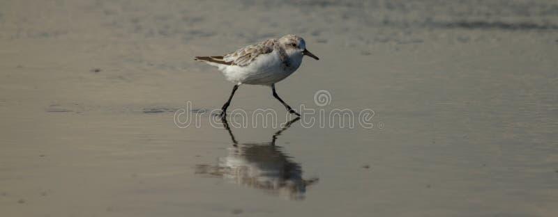 Havsfågel som kör till och med vatten arkivbild