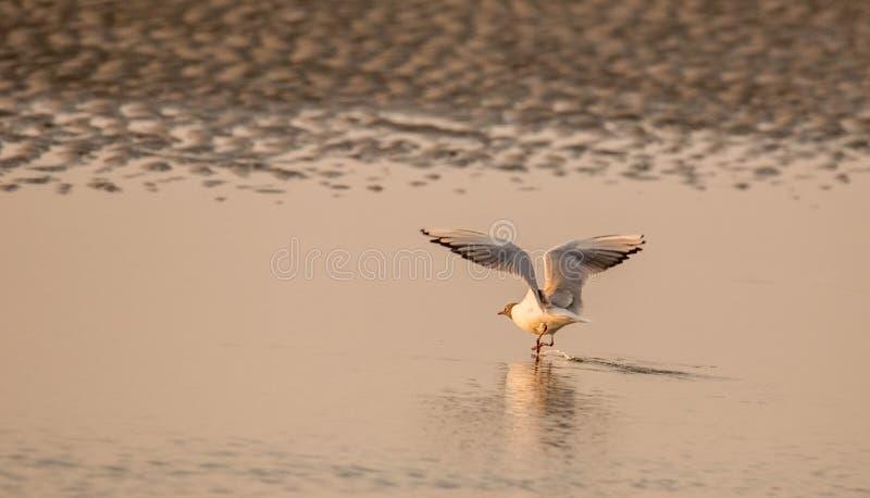 Havsfågel som tar av på solnedgången fotografering för bildbyråer
