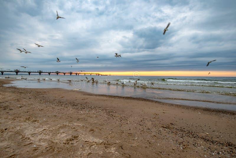 Havsfåglar på stranden I bakgrunden kan du se solnedgången och den stora pir Miedzyzdroje Polen royaltyfria foton