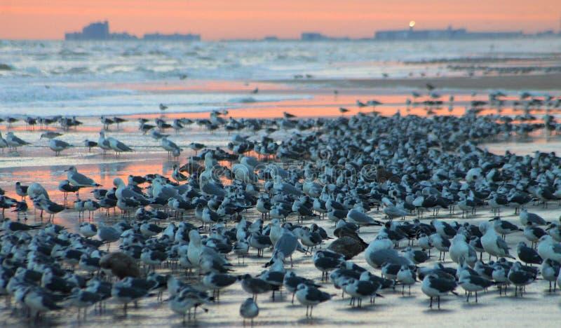 Havsfåglar som samlas på stranden arkivbilder