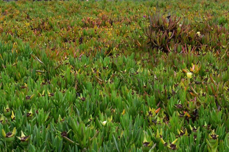 Havsfikonträd carpobrotuschilensisen royaltyfri fotografi