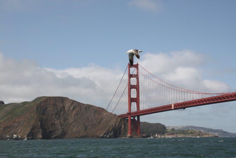 Havsfiskmås som flyger över Golden gate bridge arkivbild