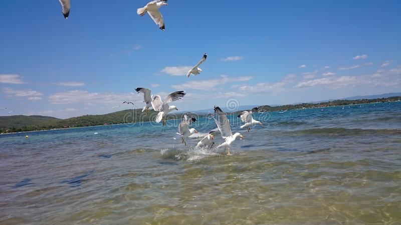 Havsfiskmåsar i vatten arkivfoton