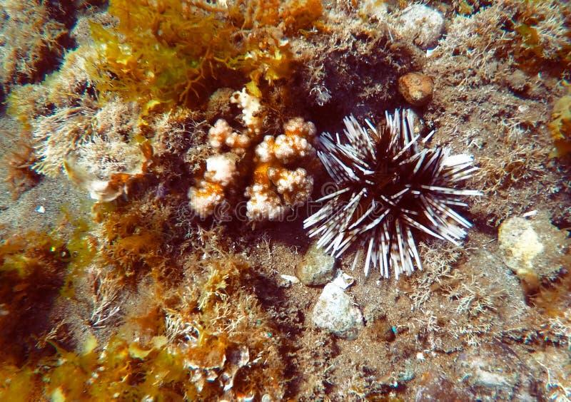 Havsgatubarn i korallrev Undervattens- closeup av blötdjuret royaltyfri bild