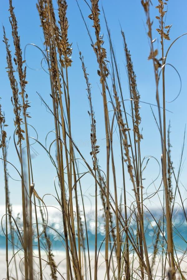 Havsgräs arkivfoto