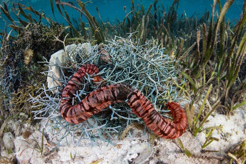 Havsgurka och svampar i Seagrassäng arkivfoton