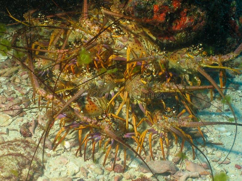 Havshummer undervattens- Ceará, Brasilien arkivfoto